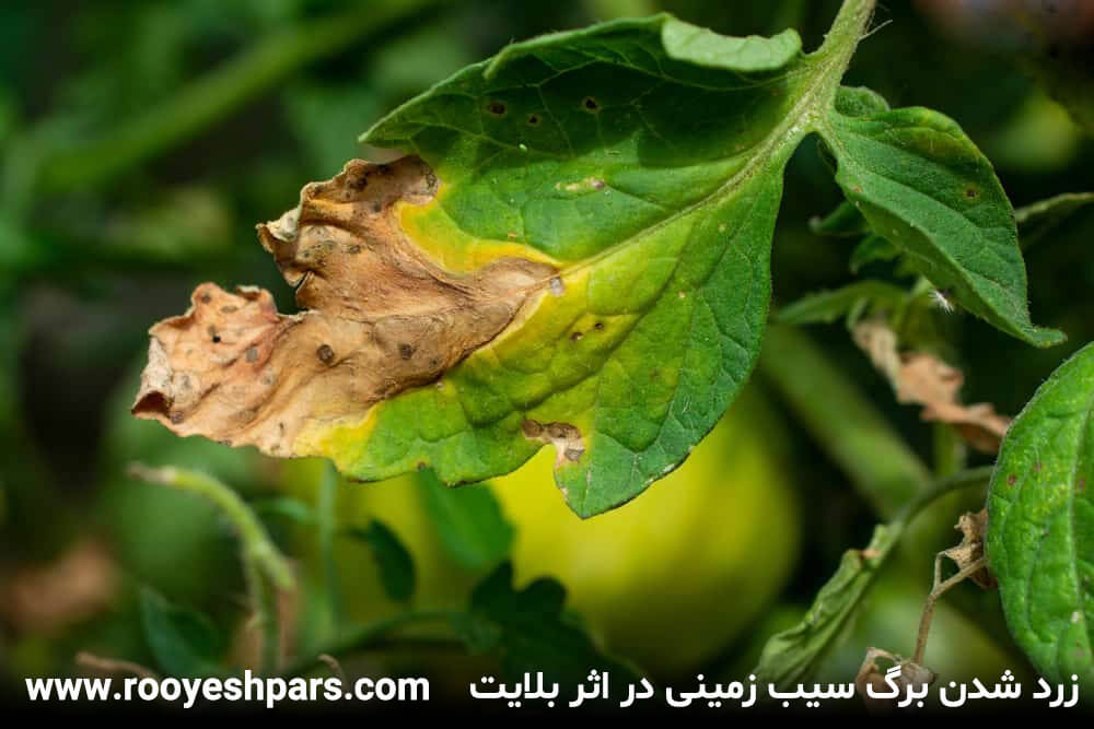 زرد-شدن-برگ-سیب-زمینی-در-اثر-بلایت